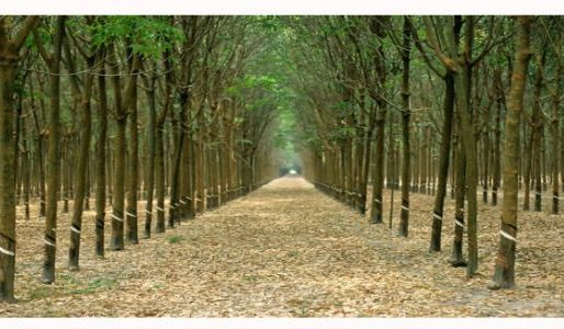 How the tree plantation in Bangladesh can make you multi-millionaire?